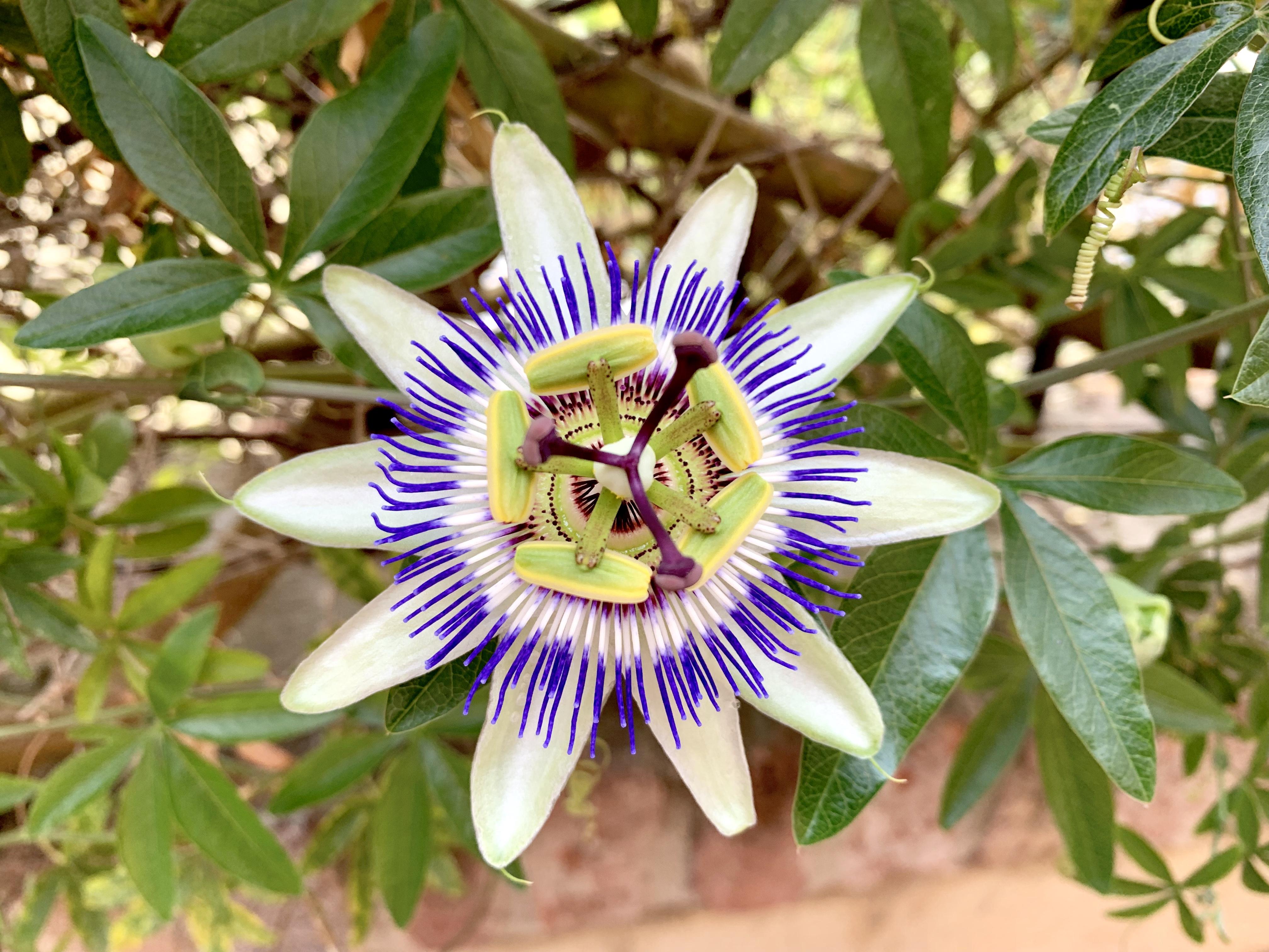 fleur non compressee