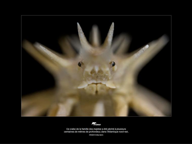 Crabe Majidae