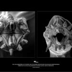 Vers polychetes de la famille des Polynoidae